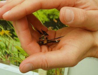 DragonflEye: experimentan con una libélula y la convierten en una mezcla de dron y cyborg